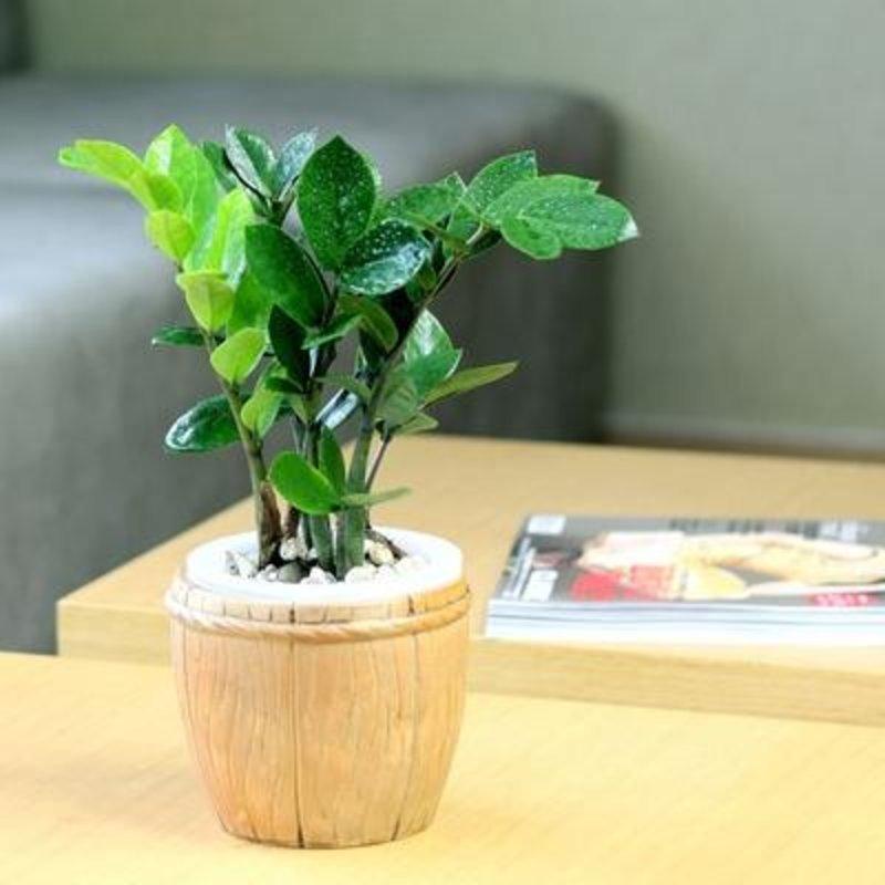 金钱树小盆栽 办公室室内盆景创意绿植 招财室内水培植物(木桶款)